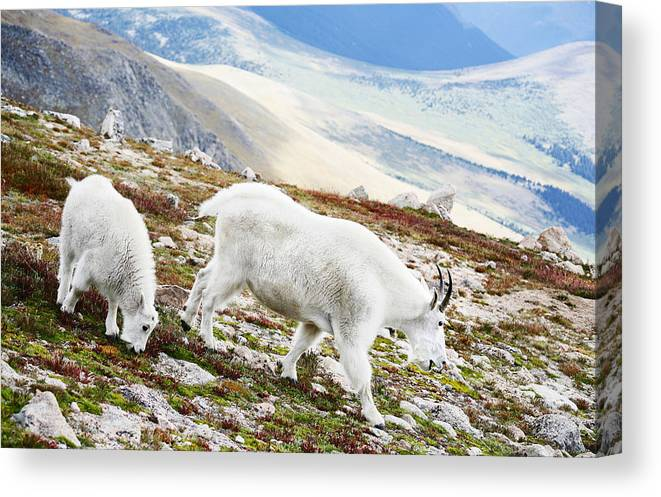 Mountain Canvas Print featuring the photograph Mountain Goats 1 by Marilyn Hunt