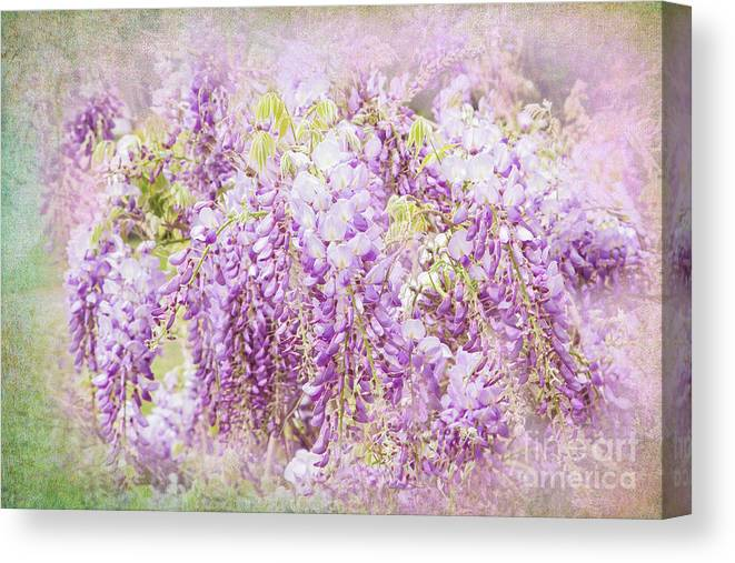 Wisteria Canvas Print featuring the photograph My Romance by Marilyn Cornwell
