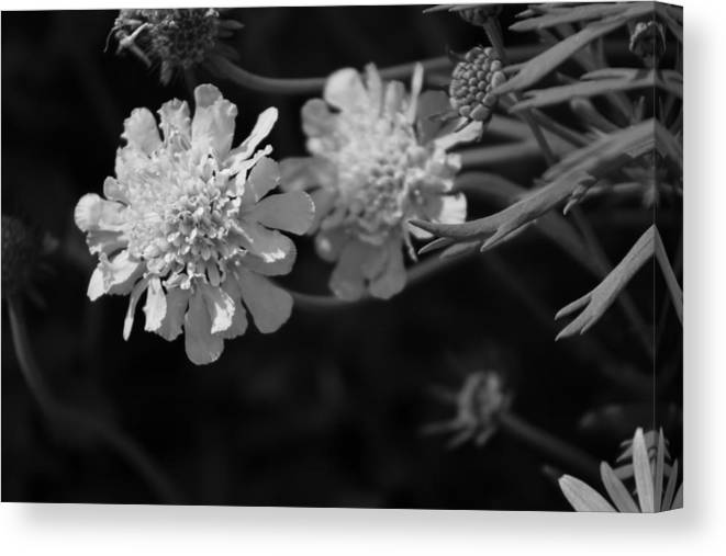 Pincushion Flowers Canvas Print featuring the photograph On Pins and Needles a Black and White Photograph of Pincushion Flowers by Colleen Cornelius