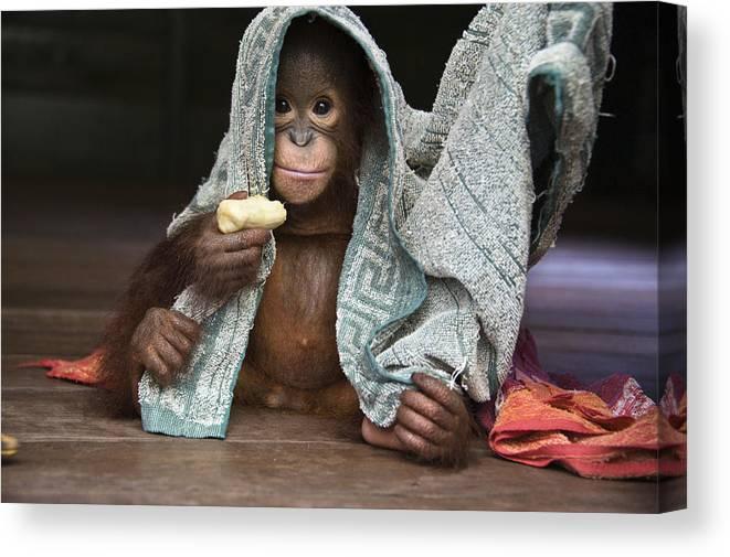 00486841 Canvas Print featuring the photograph Orangutan 2yr Old Infant Holding Banana by Suzi Eszterhas