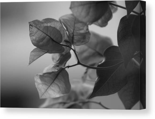 Bougainvillea Canvas Print featuring the photograph Paper Thin a Black and White Close Up Photograph of a Bougainvillea Bush by Colleen Cornelius