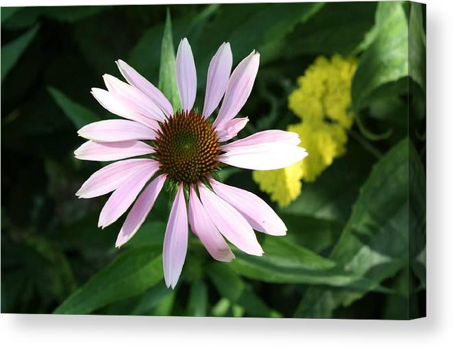 Pink Cone Flower Canvas Print featuring the photograph Pink Cone Flower 2 by Debra Sandstrom
