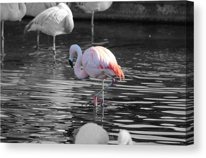 Palm Desert California Canvas Print featuring the photograph Pinky by Colleen Cornelius