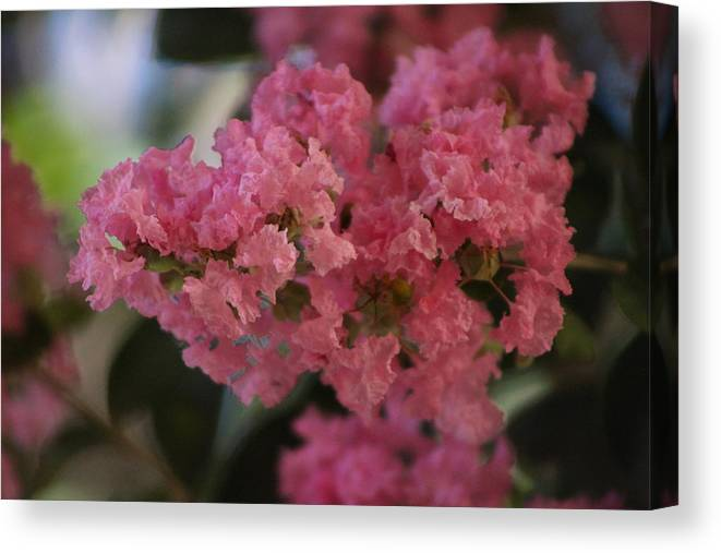 Prism Pink Canvas Print featuring the photograph Prism Pink Flowering Crepe Myrtle by Colleen Cornelius