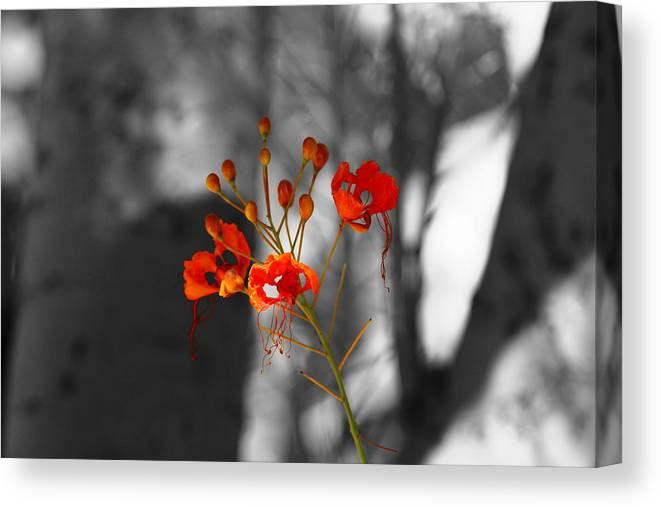 Crimson Red Canvas Print featuring the photograph Red Bird Of Paradise by Colleen Cornelius
