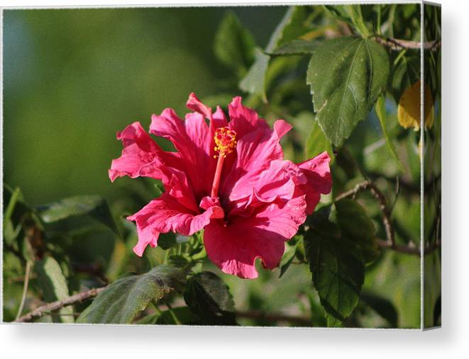 Red Chili Pepper Canvas Print featuring the photograph Red Chili Pepper Hibiscus Flower by Colleen Cornelius