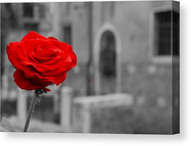 Venice Canvas Print featuring the photograph Red Rose with Black and White Background by Michael Henderson