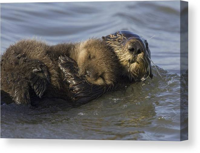 00438549 Canvas Print featuring the photograph Sea Otter Mother With Pup Monterey Bay by Suzi Eszterhas