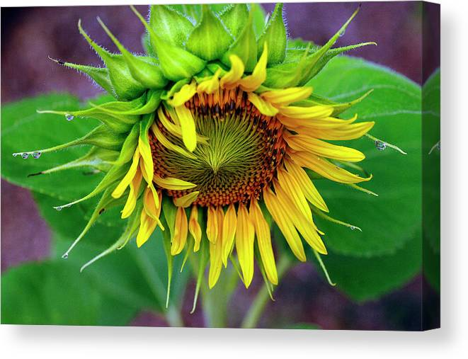 Sunflower Canvas Print featuring the photograph Sunny Morning by Bill Morgenstern