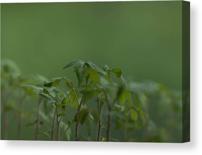 Agriculture Canvas Print featuring the photograph Tomato seedlings in the morning by Adrian Bud