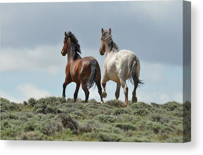 Wild Horses Canvas Print featuring the photograph Too Beautiful by Frank Madia
