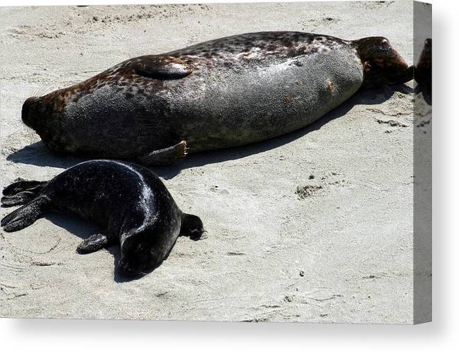 Seal Canvas Print featuring the photograph Two Seals by Anthony Jones