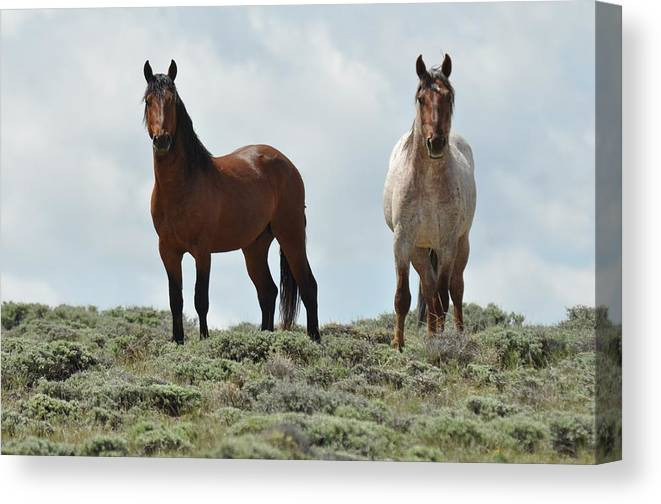 Wild Horses Canvas Print featuring the photograph We See You by Frank Madia