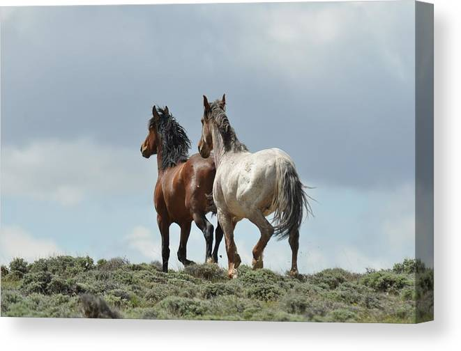 Wild Horses Canvas Print featuring the photograph We Will Be Over the Hill in a Few Seconds by Frank Madia
