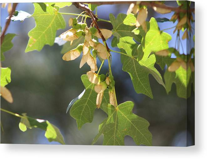 Field Maple Canvas Print featuring the photograph Whirligigs on Field Maple in New Mexico by Colleen Cornelius