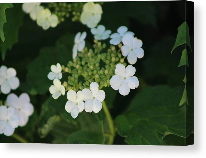 White Bridal Wreath Canvas Print featuring the photograph White Bridal Wreath Flowers by Colleen Cornelius
