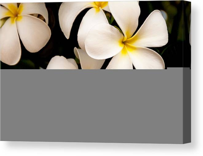 Yellow And White Plumeria Flower Frangipani Canvas Print featuring the photograph Yellow and White Plumeria by Brian Harig