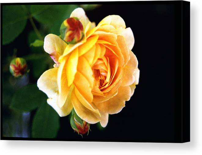 Rose Canvas Print featuring the photograph Yellow Rose by Paul Trunk