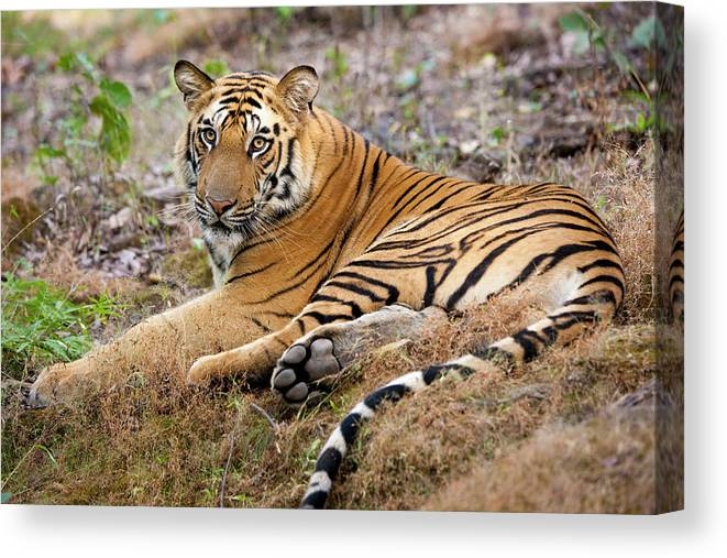 Looking Over Shoulder Canvas Print featuring the photograph An Adult Tiger In Bandhavgarh National by Mint Images - Art Wolfe