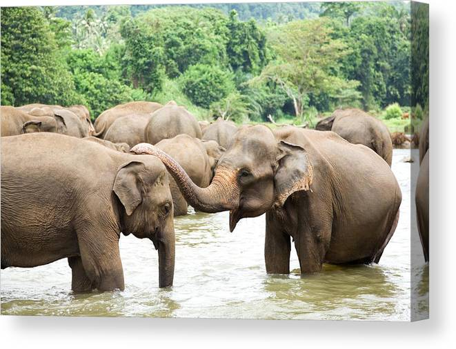 Animals In The Wild Canvas Print featuring the photograph Elephants In River by Lp7