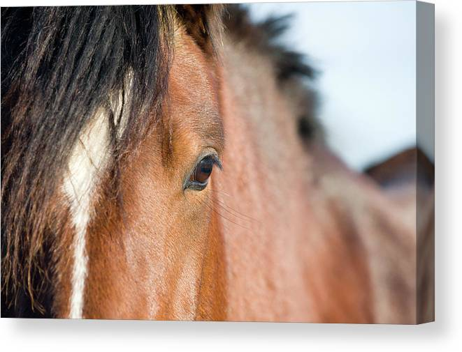 Horse Canvas Print featuring the photograph Equine Beauty by Dageldog