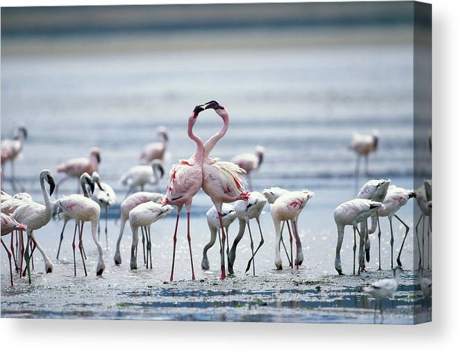 Tanzania Canvas Print featuring the photograph Lesser Flamingoes Phoeniconaias Minor by Paul Souders