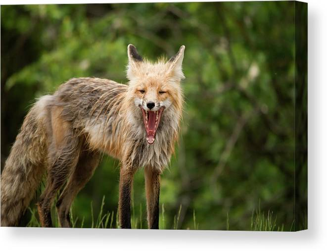 Snarling Canvas Print featuring the photograph Red Fox Vulpes Vulpes In Prince Albert by Philippe Widling / Design Pics