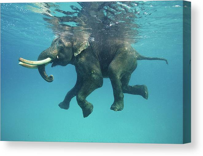 Underwater Canvas Print featuring the photograph Swimming Elephant by Mike Korostelev Www.mkorostelev.com