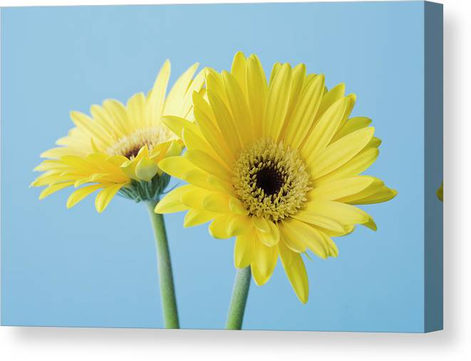 Two Objects Canvas Print featuring the photograph Yellow Flowers On Blue Background by Kristin Lee
