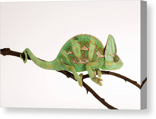 White Background Canvas Print featuring the photograph Yemen Chameleon Sitting On Branch by Martin Harvey