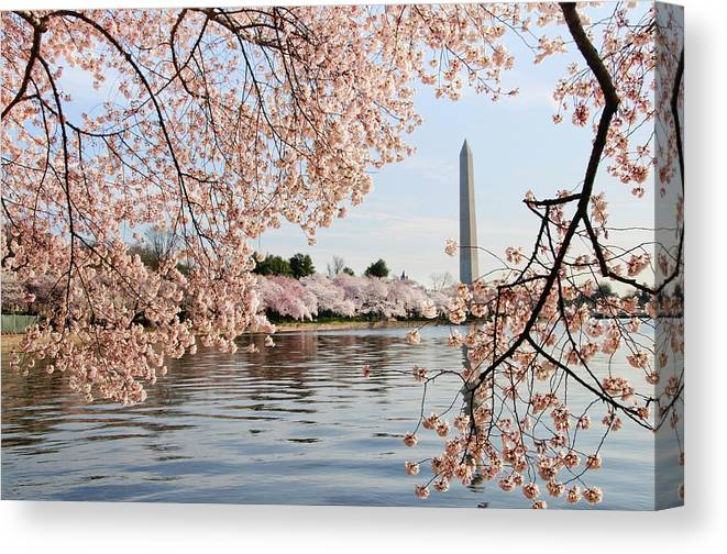 Tidal Basin Canvas Print featuring the photograph Washington Dc Cherry Blossoms And by Ogphoto