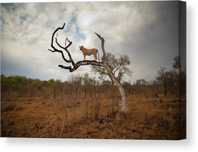 Scenics Canvas Print featuring the photograph A Female Lion Standing On Bare Branch by Sean Russell