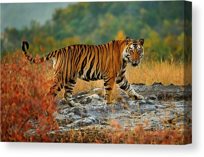 Vertebrate Canvas Print featuring the photograph A Large Tiger In Bandhavgarh National by Mint Images - Art Wolfe