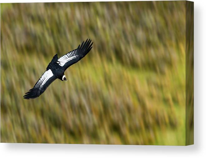 Sebastian Kennerknecht Canvas Print featuring the photograph Andean Condor Flying Over Torres Del Paine by Sebastian Kennerknecht