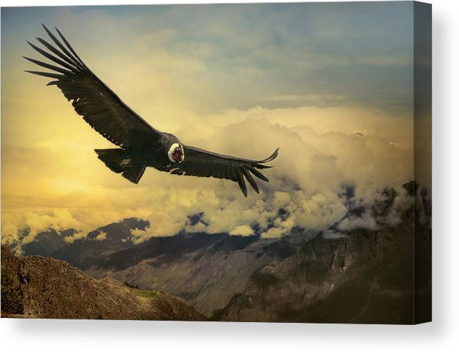 Animal Themes Canvas Print featuring the photograph Andean Condor by Istvan Kadar Photography