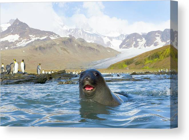 Allardyce Range Canvas Print featuring the photograph Antarctic Fur Seal In Sea, King by Eastcott Momatiuk
