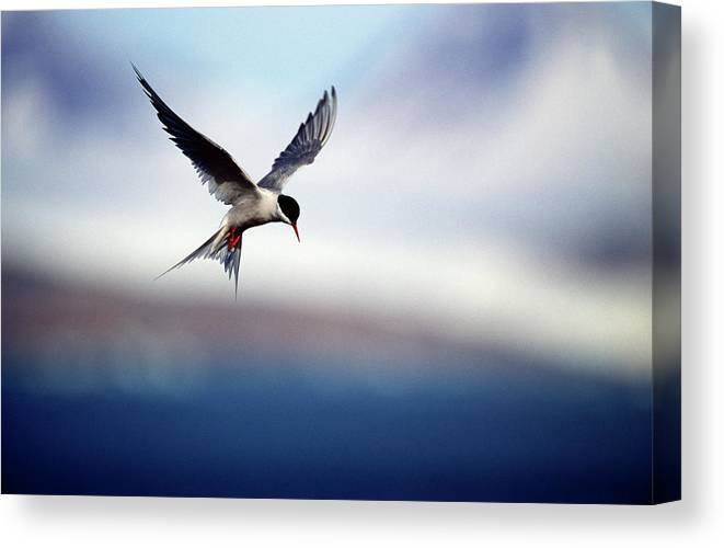 Svalbard Islands Canvas Print featuring the photograph Arctic Tern Hovering by Mike Hill