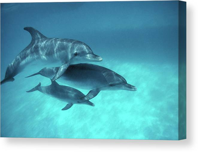 Animal Themes Canvas Print featuring the photograph Atlantic Spotted Dolphins Stenella by Georgette Douwma