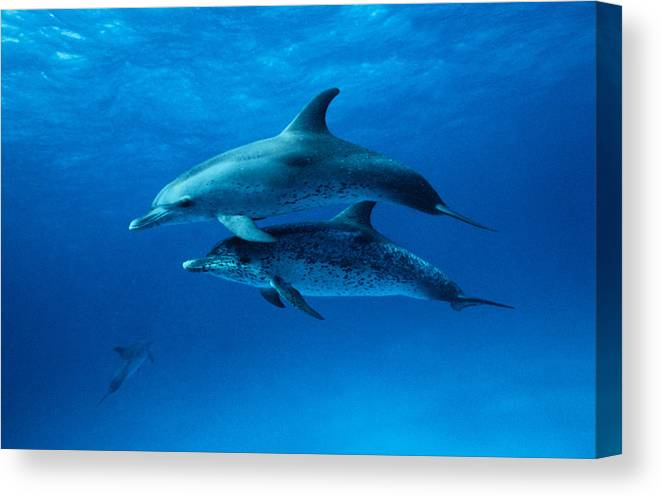 Color Image Canvas Print featuring the photograph Atlantic Spotted Dolphins,stenella by Gerard Soury