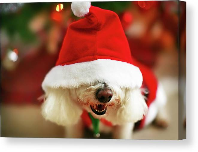 Pets Canvas Print featuring the photograph Bichon Frise Dog In Santa Hat At by Nicole Kucera
