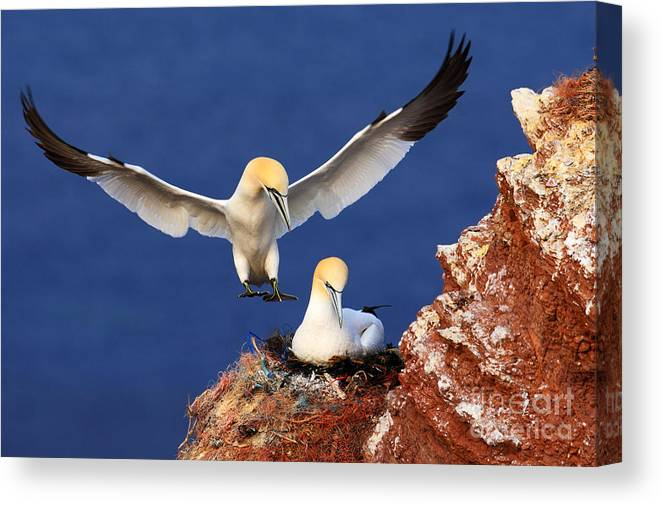 Beak Canvas Print featuring the photograph Bird Landind To The Nest With Female by Ondrej Prosicky