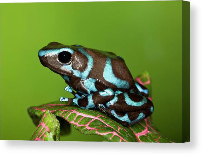 Animal Themes Canvas Print featuring the photograph Blue And Black Dart Frog, Dendrobates by Adam Jones