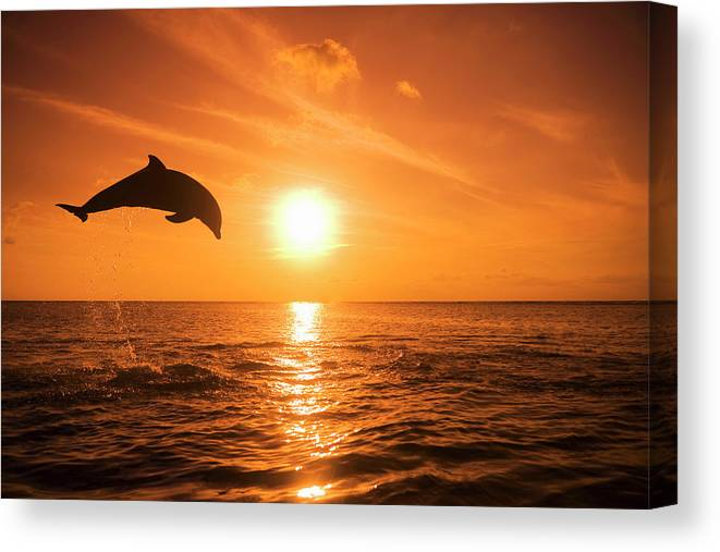 Orange Color Canvas Print featuring the photograph Bottlenose Dolphin Tursiops Truncatus by Rene Frederick