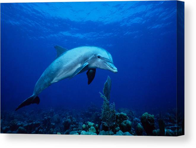 Underwater Canvas Print featuring the photograph Bottlenose Dolphin,tursiops by Gerard Soury