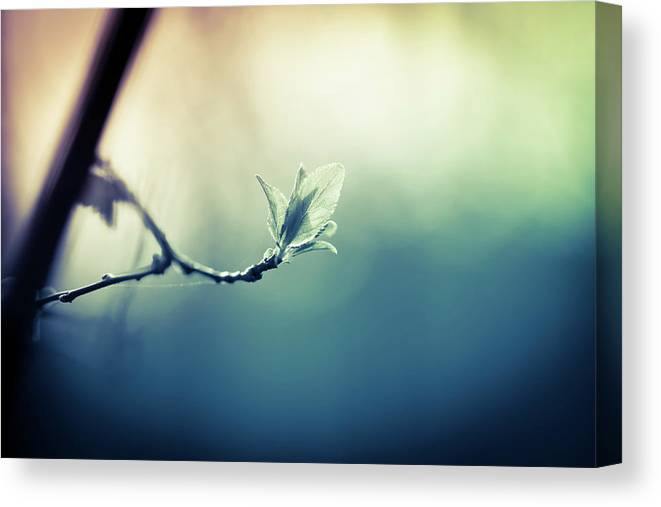 Sunlight Canvas Print featuring the photograph Branch With New Leaves by Jeja