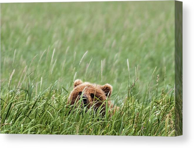 Katmai Peninsula Canvas Print featuring the photograph Brown Bear by Trevor Johnston / Eye Meets World Photography