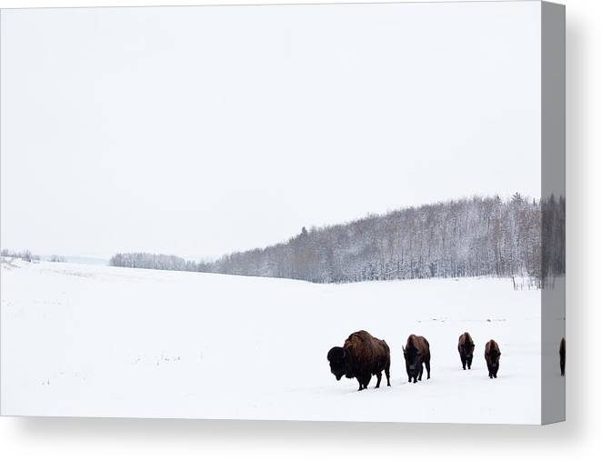 Scenics Canvas Print featuring the photograph Buffalo Or Bison On The Plains In Winter by Imaginegolf