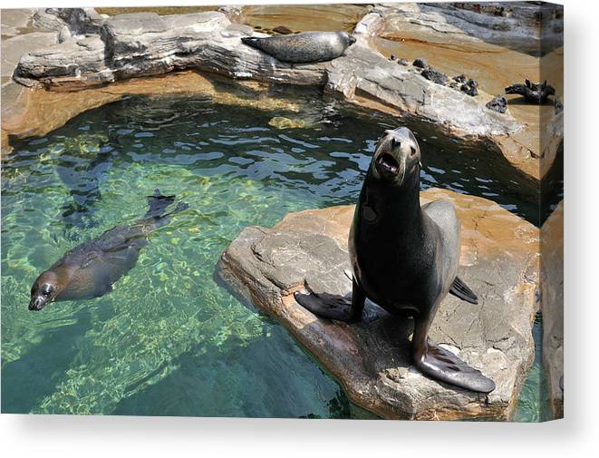 Sea Lion Canvas Print featuring the photograph California Sea Lion And Spotted Seal by T. Nakamura Volvox Inc.