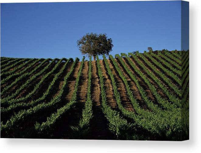 Following Canvas Print featuring the photograph Californias Winegrape Growing Region Of by George Rose