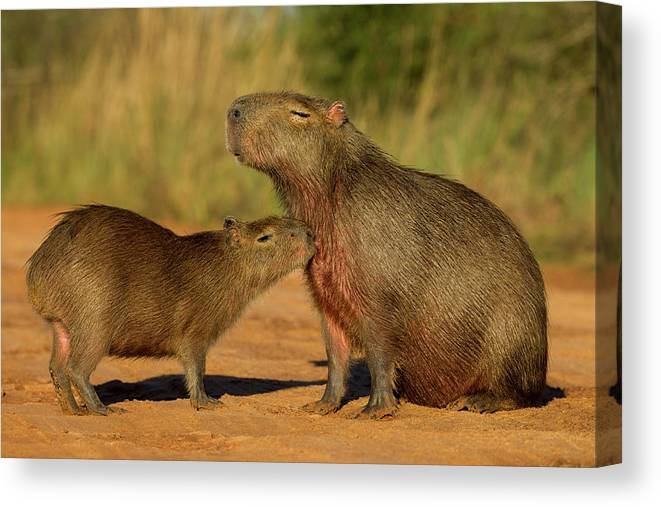 Sebastian Kennerknecht Canvas Print featuring the photograph Capybara Juvenline Sniffing Mother by Sebastian Kennerknecht
